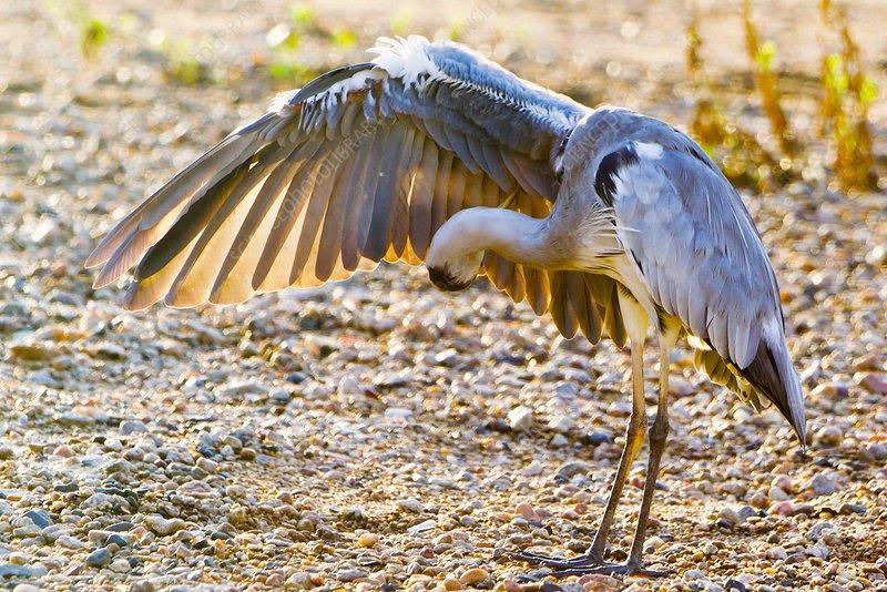 Great Heron 13 g Chickenpox 55 mm