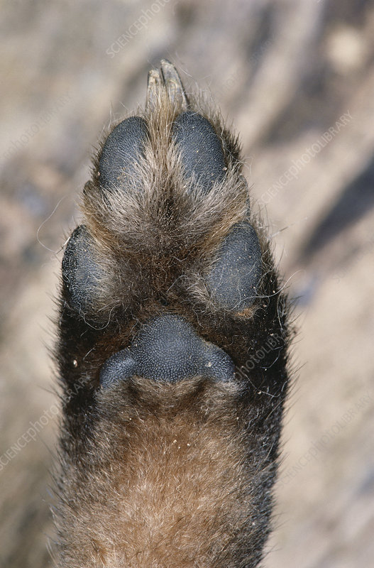 Gray Fox Paw