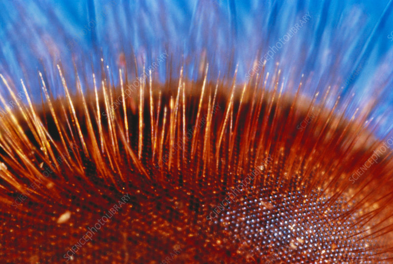 Compound eye of a bee