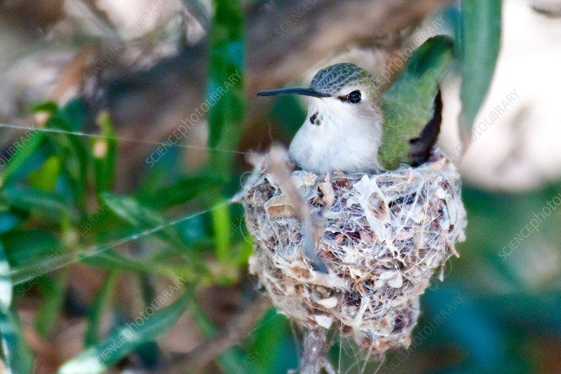 Black-chinned Hummingbird at Nest
