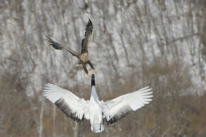 Red-crowned Crane attacking Eagle