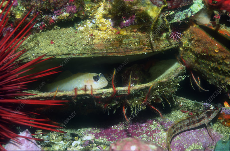 Goby in scallop shell