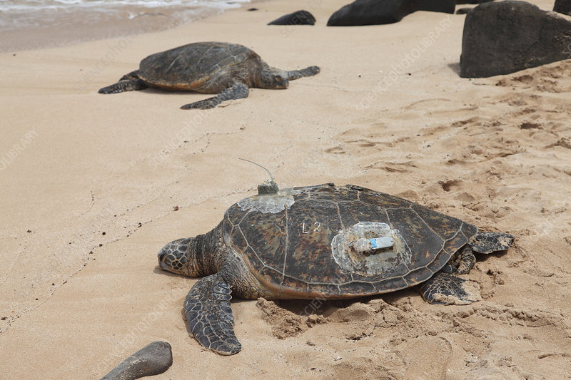 Green Sea Turtles with GPS
