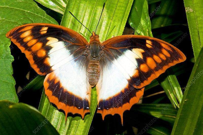 Flame Bordered Charaxes Butterfly