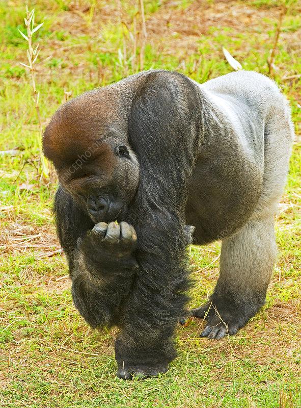 Western Lowland Gorilla (Male)