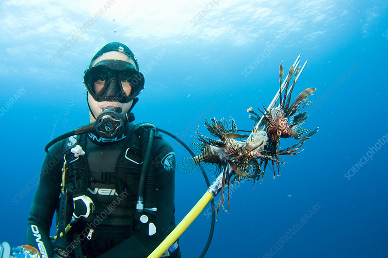 Diver catching Lionfish