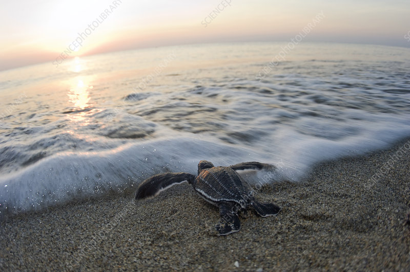 Turtle Hatchling Enters Sea