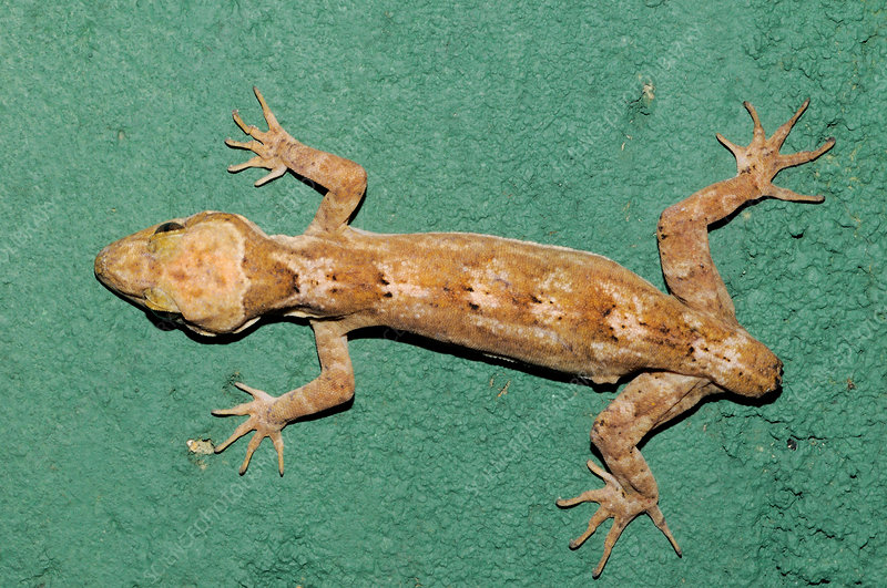 Rakwana Bent-toed Gecko Missing Tail