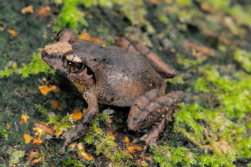 Female Forest Shrub frog