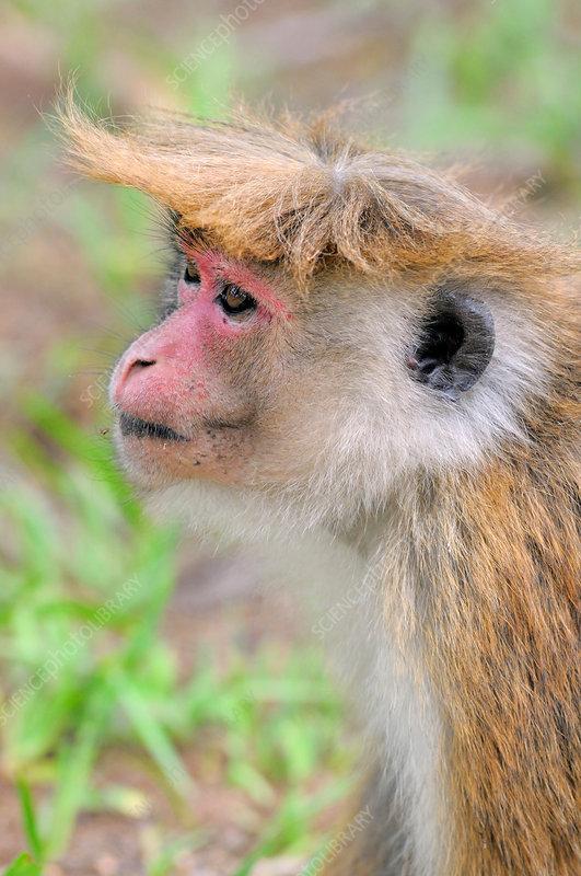Female Toque Macaque