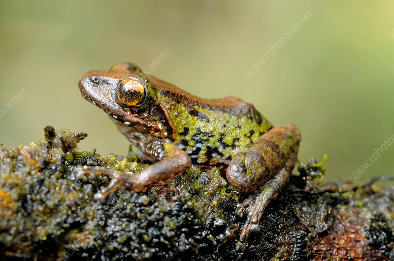 Small-eared shrub frog