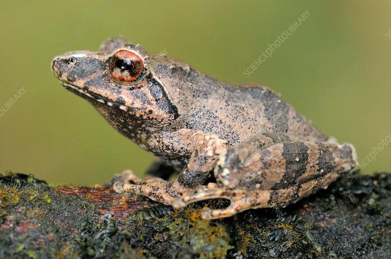 Pug-nosed Shrub Frog
