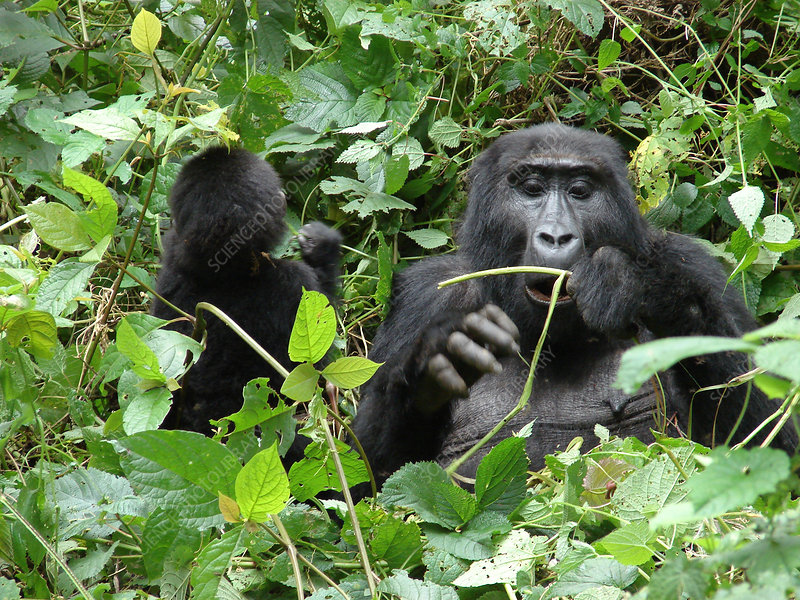Mountain Gorilla and Young