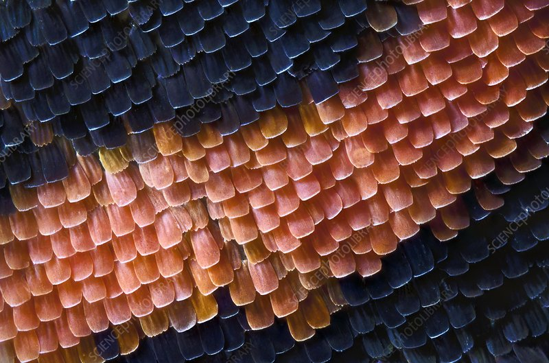 Butterfly wing scales