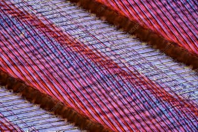 Swan feather, light micrograph