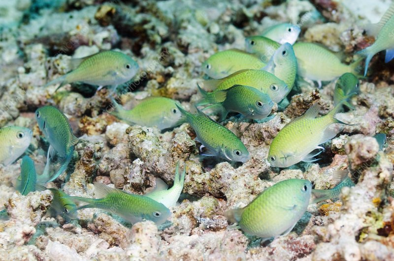 Blue-green chromis on a reef