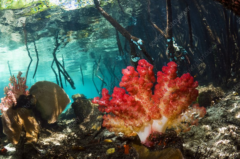 Corals in a mangrove swamp