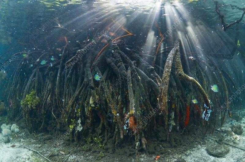 Corals in a mangrove swamp