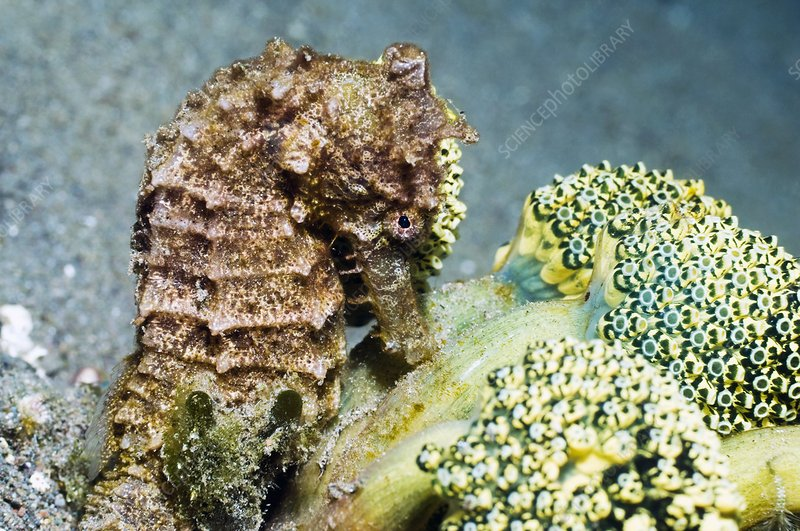Seahorse and sea squirts