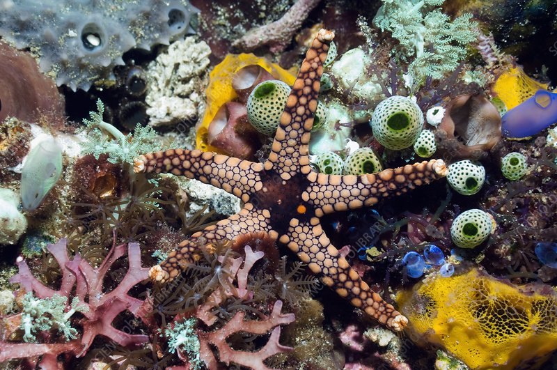 Starfish and sea squirts on a reef