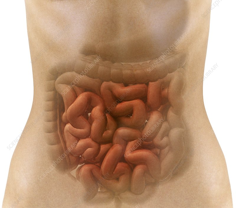 Stomach and intestines, artwork