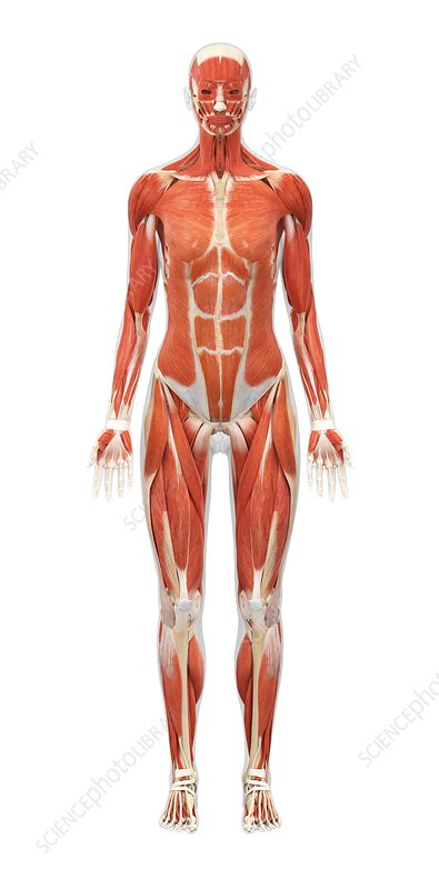 Female Muscle Structure Artwork Stock Image C0118602 Science
