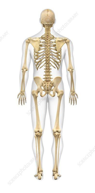 diagram of male skeleton male skeleton  artwork stock image c011 8613 science photo  male skeleton  artwork stock image