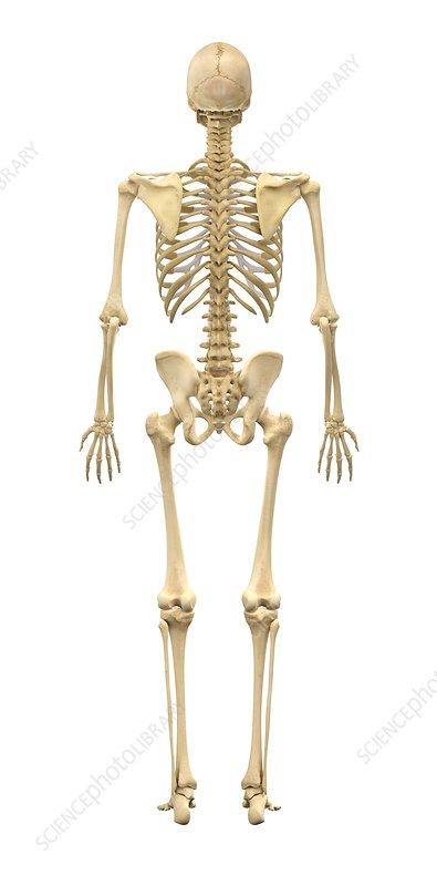 diagram of male skeleton male skeleton  artwork stock image c011 8614 science photo  male skeleton  artwork stock image