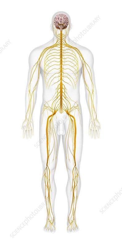 Human Nervous System Artwork Stock Image C0118621 Science