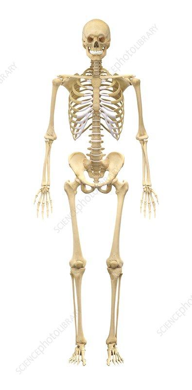 diagram of male skeleton male skeleton  artwork stock image c011 8625 science photo  male skeleton  artwork stock image