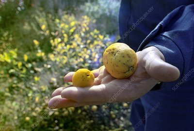 Mutated fruit near Chernobyl, Ukraine