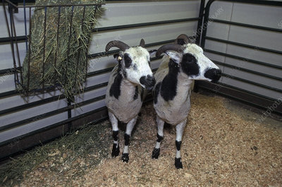 Cloned Sheep Twins