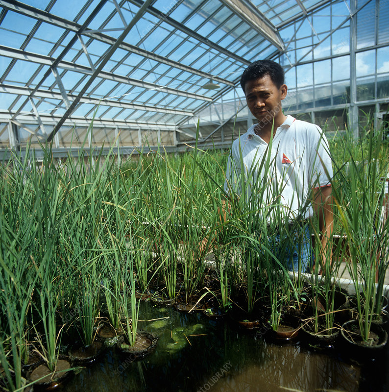 Technician with rice experiments