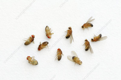 Drosophila variations