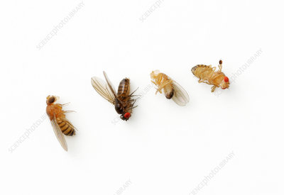 Drosophila genetic variations