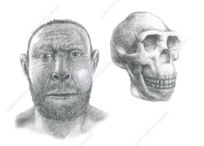 Homo erectus head reconstruction