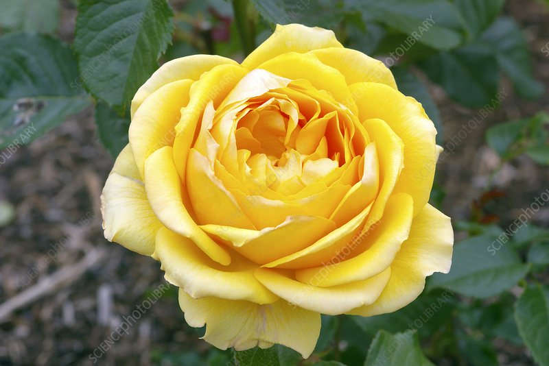 Rose (Rosa Amber Queen 'Harroony')