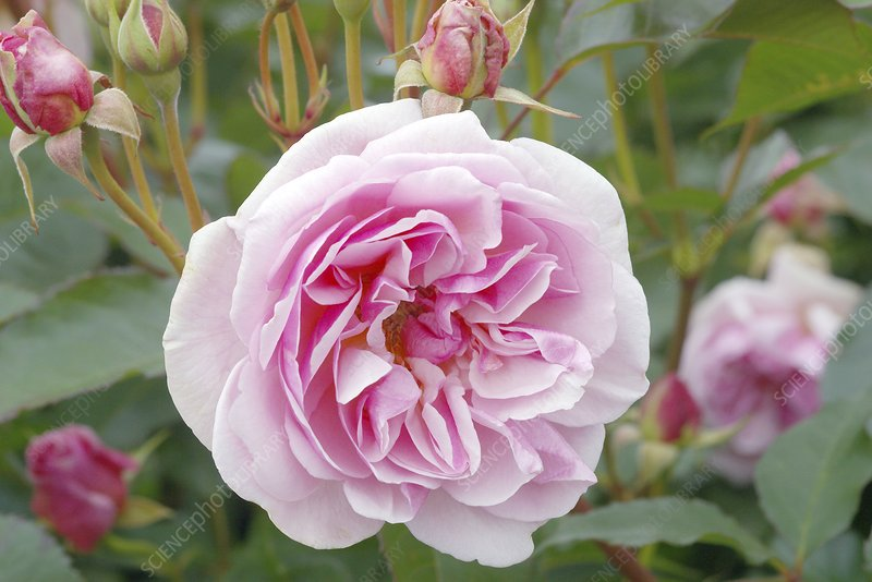 Rose (Rosa 'Evelyn Aussaucer')