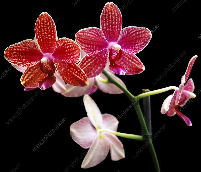 Orchid (Phalaenopsis Brother Stripe)