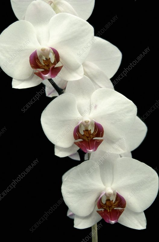 Orchid (Phalaenopsis 'Happy Girl')