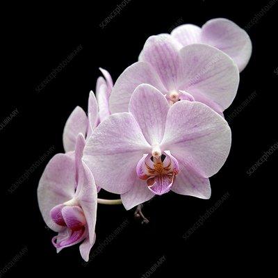 Orchid (Phalaenopsis 'Pink Twilight')