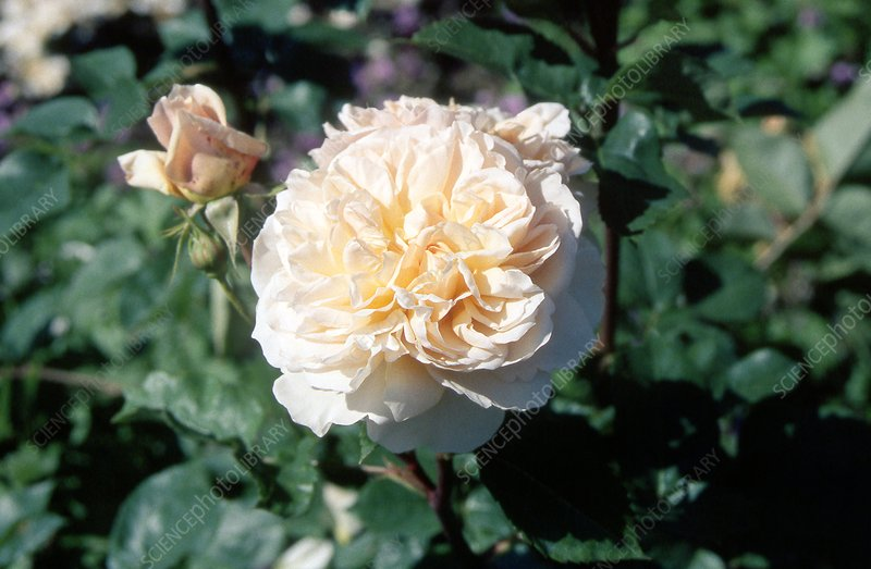 Rose (Rosa 'Evelyn')