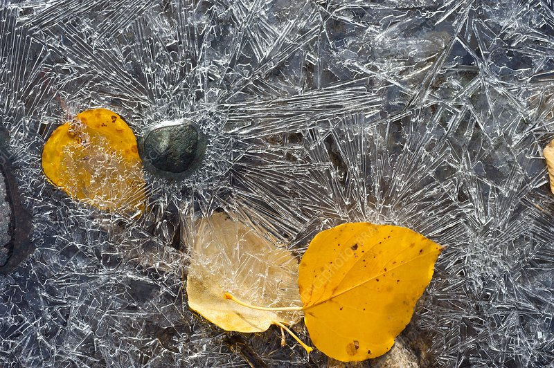 Leaves trapped in ice