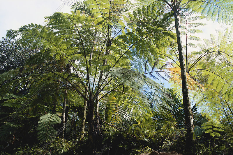 Tree Ferns in El Yunque
