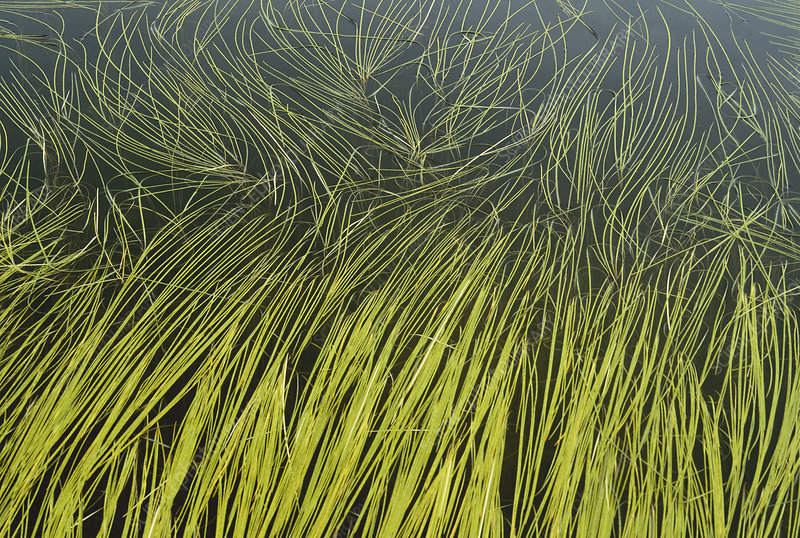 Kettle Pond Grass