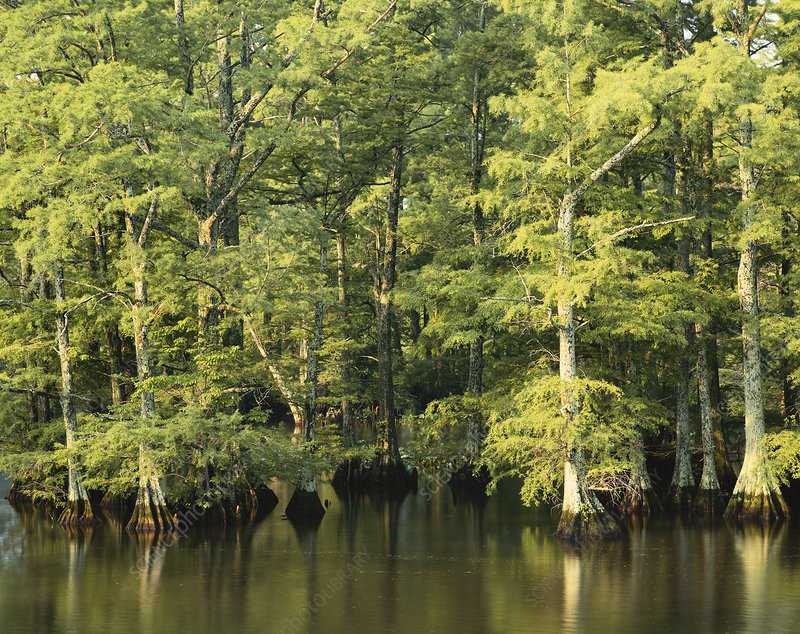 Reelfoot Lake, Tennessee, USA