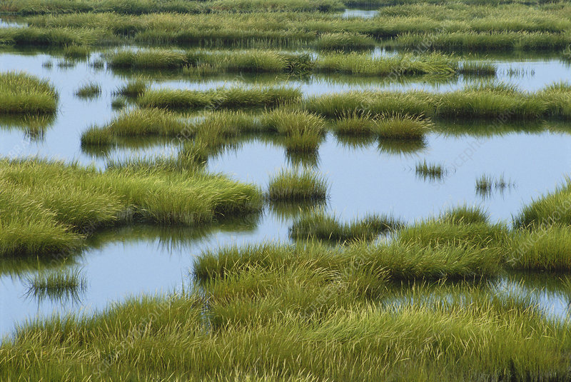 Saltmarsh Cordgrass