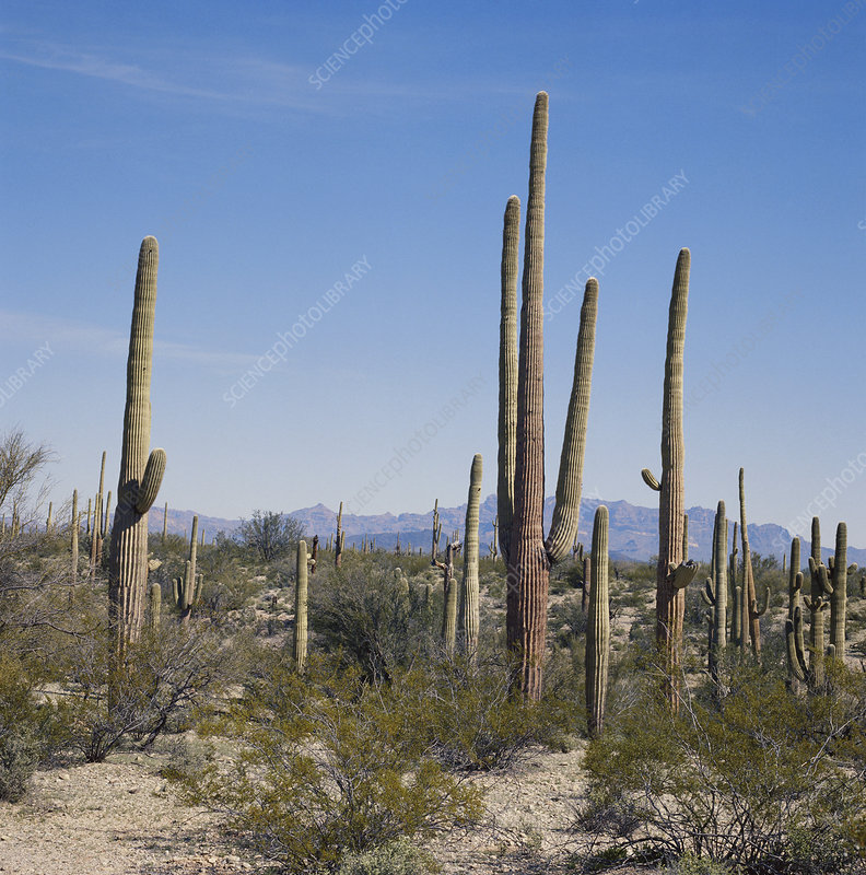 Saguaro National Park, USA