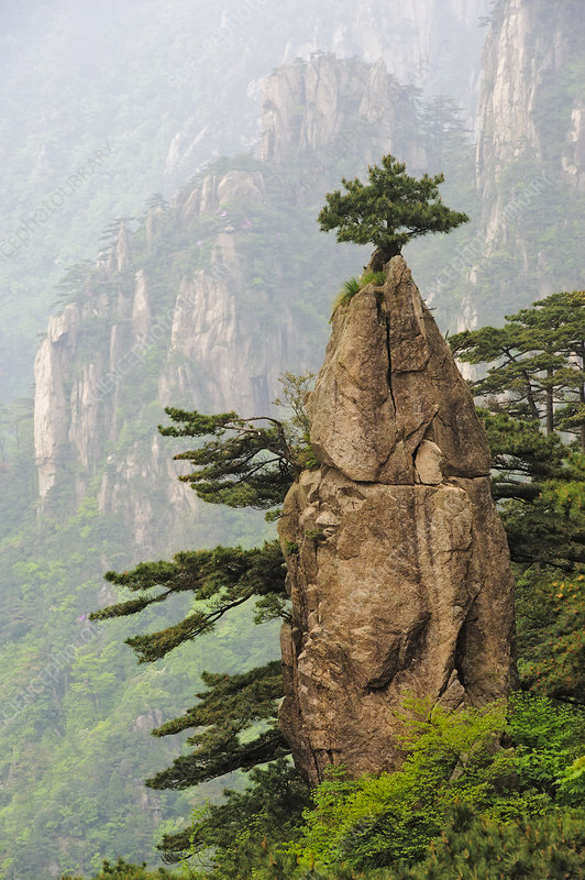 Chinese White Pine on Mt. Huangshan