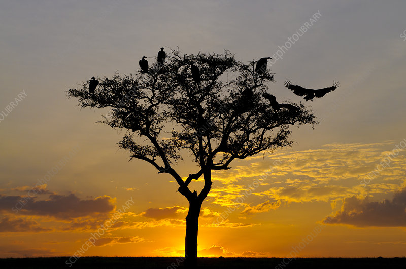Vultures in Tree at Sunset